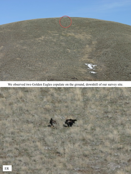 We observed two Golden Eagles copulate on the ground, downhill of our survey site.