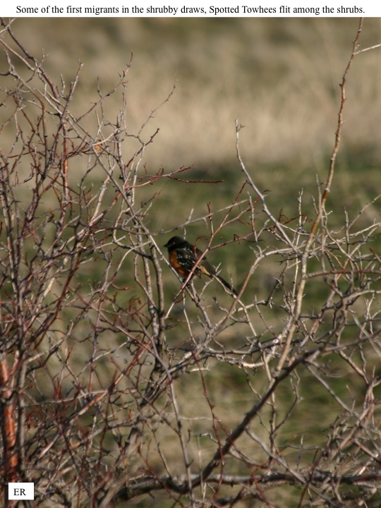 ER Some of the first migrants in the shrubby draws, Spotted Towhees flit among the shrubs.