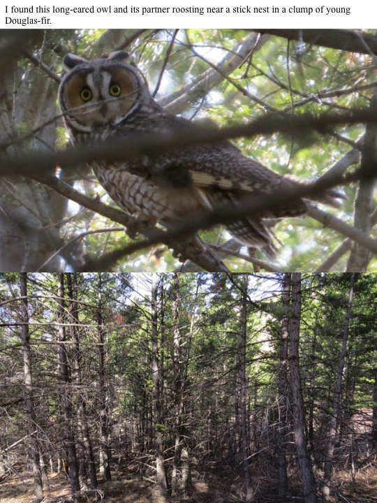 I found this long-eared owl and its partner roosting near a stick nest in a clump of young Douglas-fir.