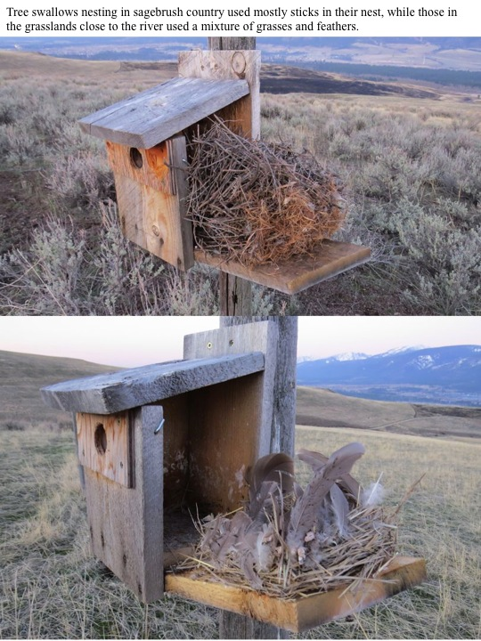 box. Tree swallows nesting in sagebrush country used mostly sticks in their nest, while those in the grasslands close to the river used a mixture of grasses and feathers.