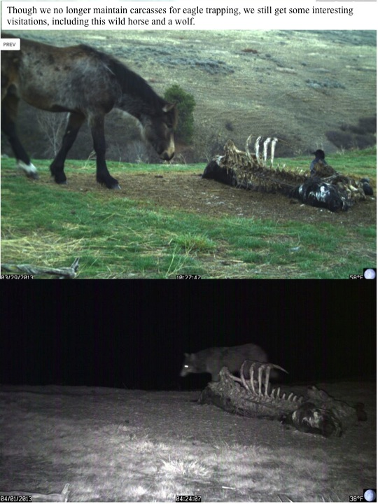 Though we no longer maintain carcasses for eagle trapping, we still get some interesting visitations, including this wild horse and a wolf.