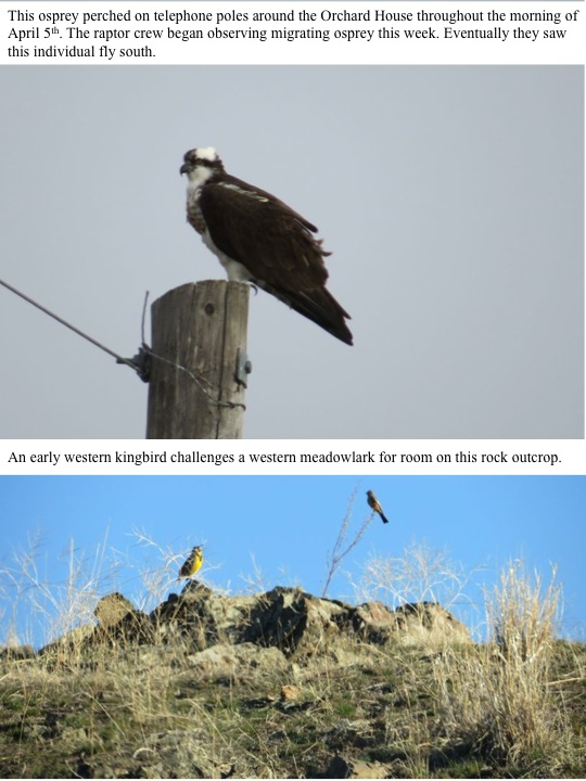 This osprey perched on telephone poles around the Orchard House throughout the morning of April 5th. The raptor crew began observing migrating osprey this week. Eventually they saw this individual fly south. An early western kingbird challenges a western meadowlark for room on this rock outcrop.