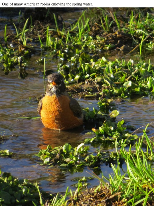 One of many American robins enjoying the spring water.