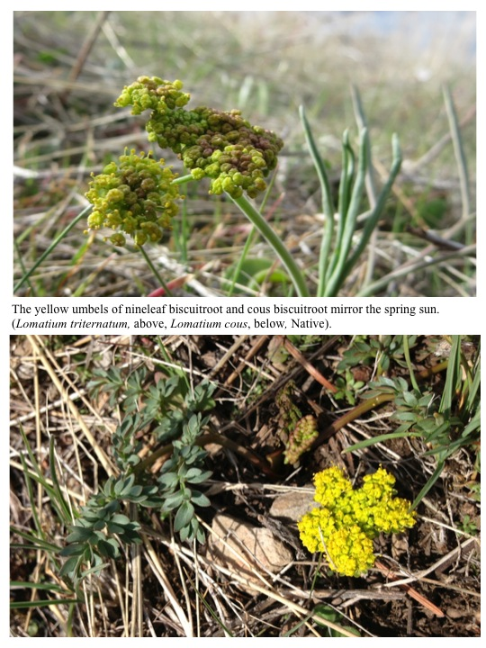 The yellow umbels of nineleaf biscuitroot and cous biscuitroot mirror the spring sun. (Lomatium triternatum, above, Lomatium cous, below, Native).