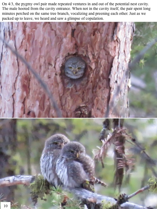 On 4/3, the pygmy owl pair made repeated ventures in and out of the potential nest cavity. The male hooted from the cavity entrance. When not in the cavity itself, the pair spent long minutes perched on the same tree branch, vocalizing and preening each other. Just as we packed up to leave, we heard and saw a glimpse of copulation.