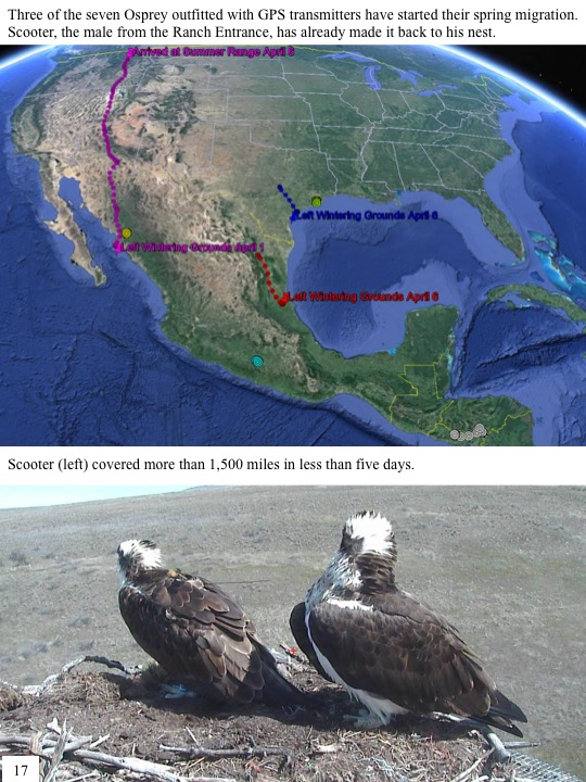 Three of the seven Osprey outfitted with GPS transmitters have started their spring migration. Scooter, the male from the Ranch Entrance, has already made it back to his nest. Scooter (left) covered more than 1,500 miles in less than five days.