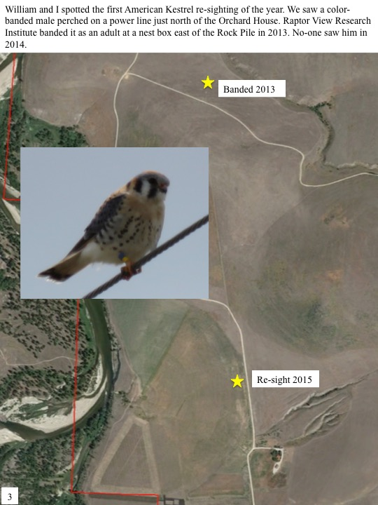William and I spotted the first American Kestrel re-sighting of the year. We saw a colorbanded male perched on a power line just north of the Orchard House. Raptor View Research Institute banded it as an adult at a nest box east of the Rock Pile in 2013. No-one saw him in 2014.