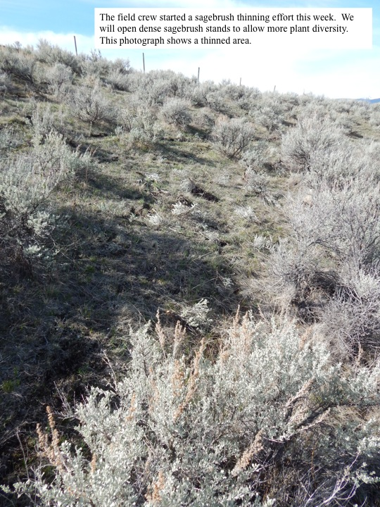 The field crew started a sagebrush thinning effort this week. We will open dense sagebrush stands to allow more plant diversity. This photograph shows a thinned area.