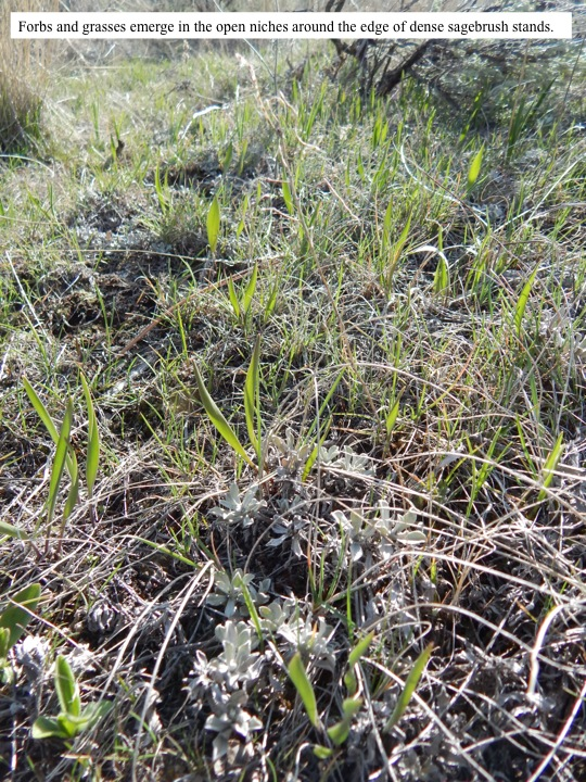 Forbs and grasses emerge in the open niches around the edge of dense sagebrush stands.