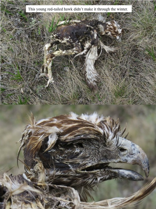 beaches. This young red-tailed hawk didn't make it through the winter.