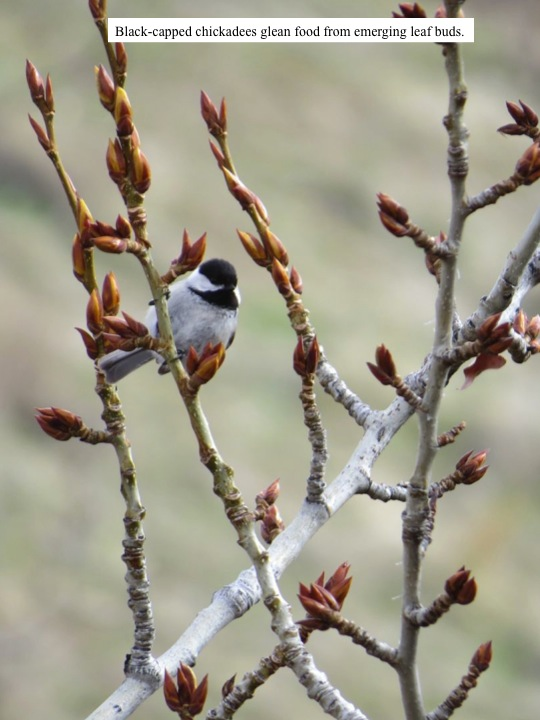 Black-capped chickadees glean food from emerging leaf buds.