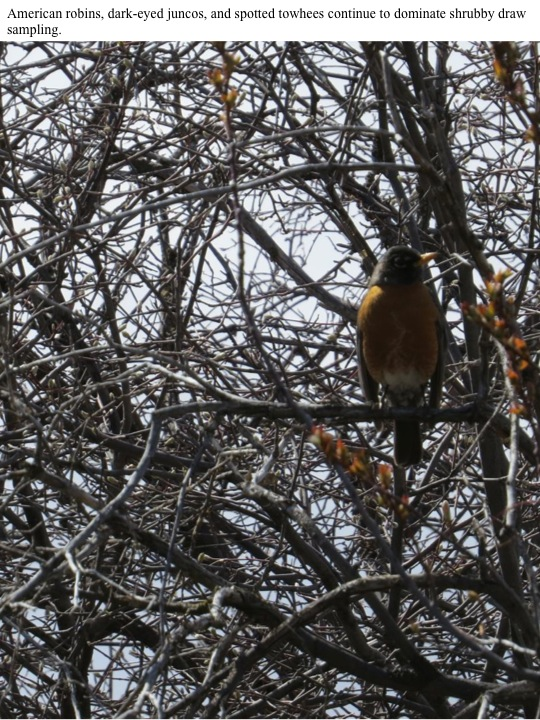 13 American robins, dark-eyed juncos, and spotted towhees continue to dominate shrubby draw sampling.