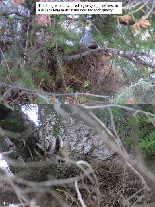 clump. This long-eared owl used a grassy squirrel nest in a dense Douglas-fir stand near the rock quarry.