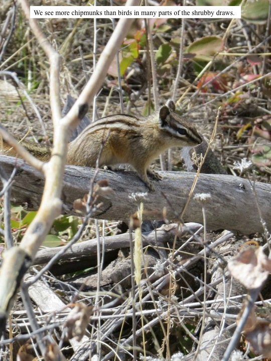 We see more chipmunks than birds in many parts of the shrubby draws.