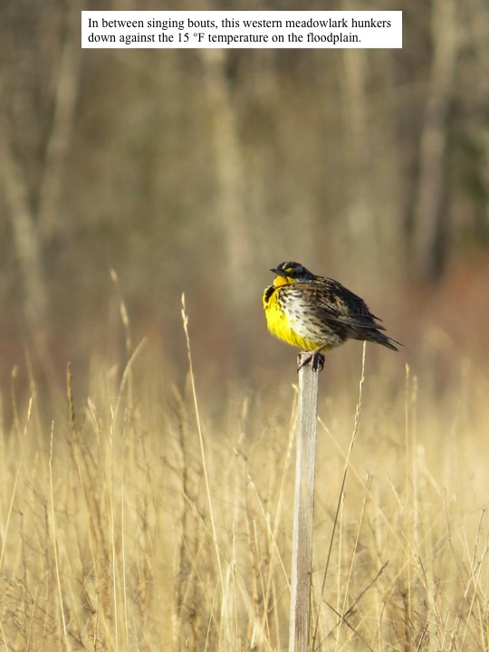 In between singing bouts, this western meadowlark hunkers down against the 15 °F temperature on the floodplain.