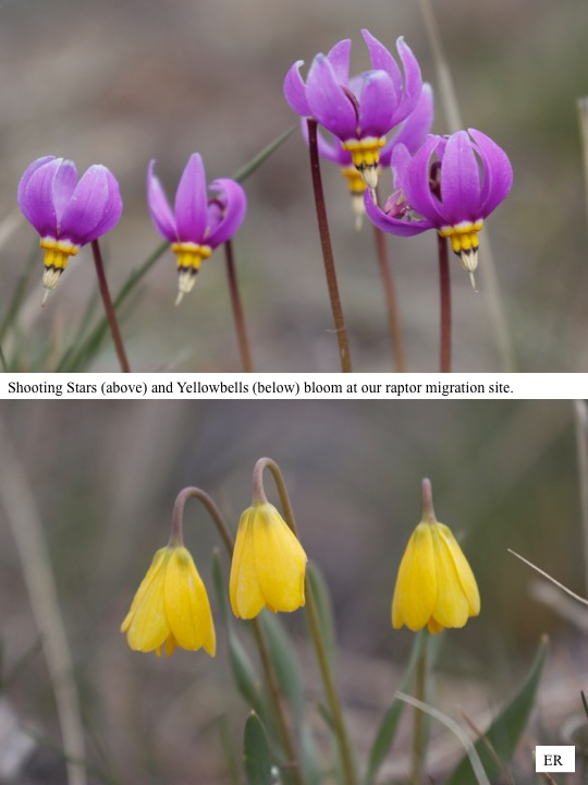 Shooting Stars (above) and Yellowbells (below) bloom at our raptor migration site.