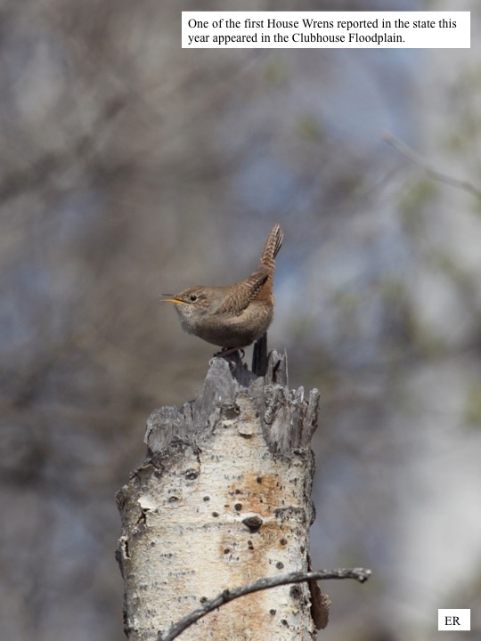 One of the first House Wrens reported in the state this year appeared in the Clubhouse Floodplain.