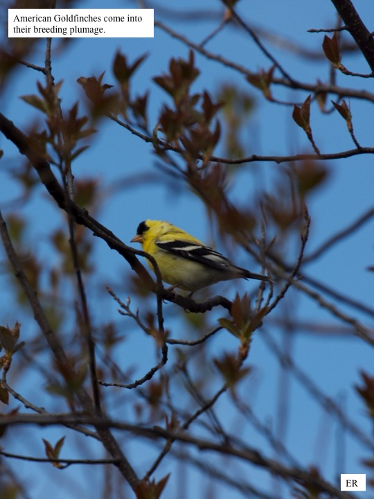 American Goldfinches come into their breeding plumage.