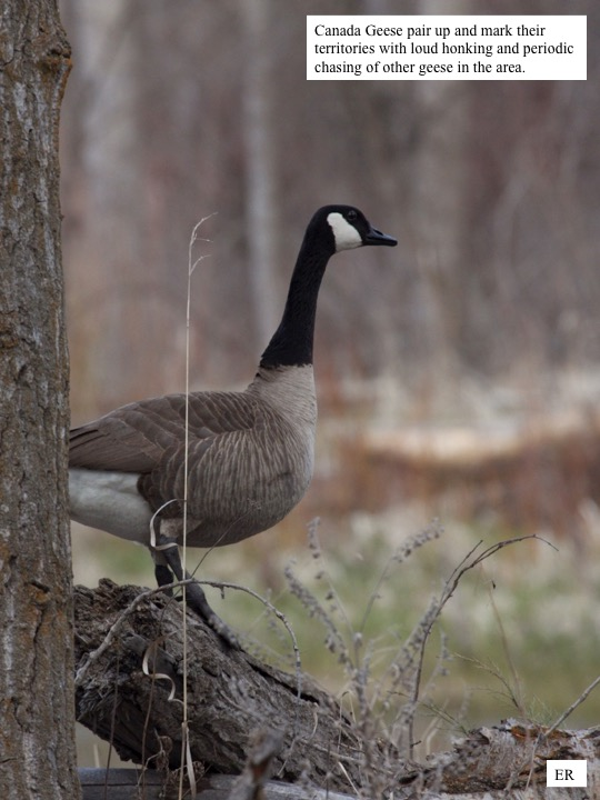 Canada Geese pair up and mark their territories with loud honking and periodic chasing of other geese in the area.