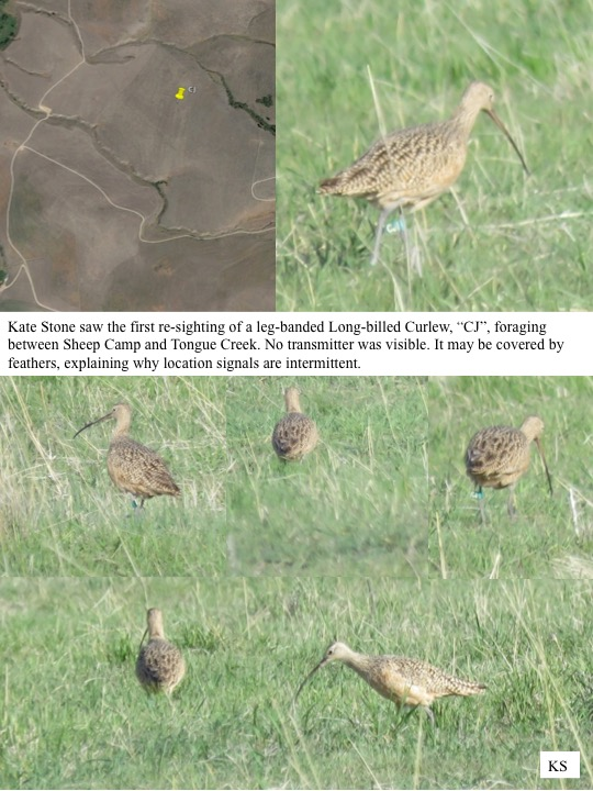 "Kate Stone saw the first re-sighting of a leg-banded Long-billed Curlew, ""CJ"", foraging between Sheep Camp and Tongue Creek. No transmitter was visible. It may be covered by feathers, explaining why location signals are intermittent."