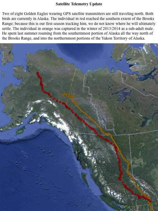 Two of eight Golden Eagles wearing GPS satellite transmitters are still traveling north. Both birds are currently in Alaska. The individual in red reached the southern extent of the Brooks Range; because this is our first season tracking him, we do not know where he will ultimately settle. The individual in orange was captured in the winter of 2013/2014 as a sub-adult male. He spent last summer roaming from the southernmost portion of Alaska all the way north of the Brooks Range, and into the northernmost portions of the Yukon Territory of Alaska.