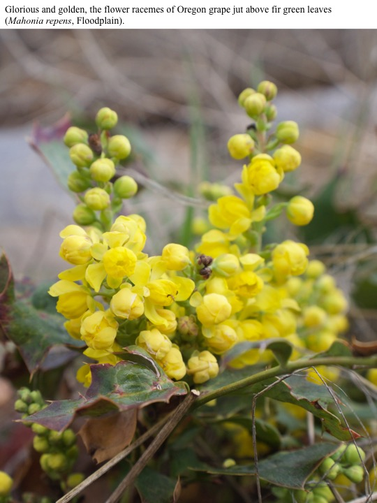 Glorious and golden, the flower racemes of Oregon grape jut above fir green leaves (Mahonia repens, Floodplain).