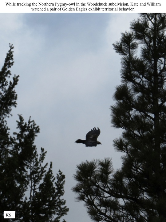 While tracking the Northern Pygmy-owl in the Woodchuck subdivision, Kate and William watched a pair of Golden Eagles exhibit territorial behavior.