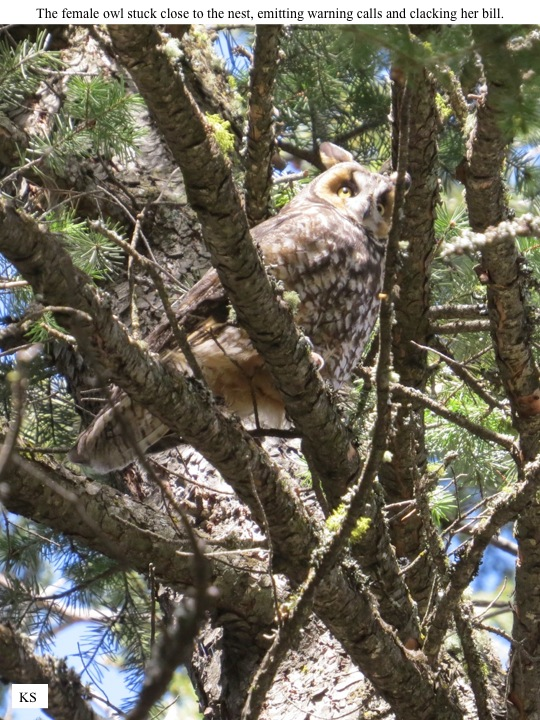 The female owl stuck close to the nest, emitting warning calls and clacking her bill.