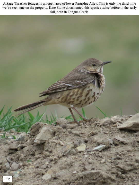 A Sage Thrasher forages in an open area of lower Partridge Alley. This is only the third time we've seen one on the property. Kate Stone documented this species twice before in the early fall, both in Tongue Creek.