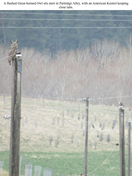 A flushed Great-horned Owl sits alert in Partridge Alley, with an American Kestrel keeping close tabs.