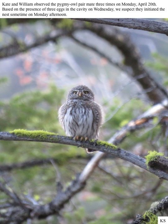 Kate and William observed the pygmy-owl pair mate three times on Monday, April 20th. Based on the presence of three eggs in the cavity on Wednesday, we suspect they initiated the nest sometime on Monday afternoon.