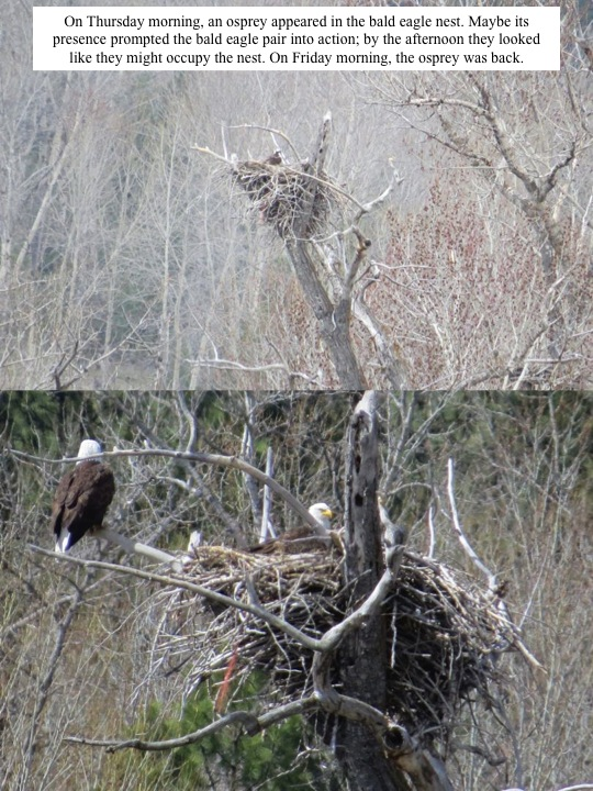 On Thursday morning, an osprey appeared in the bald eagle nest. Maybe its presence prompted the bald eagle pair into action; by the afternoon they looked like they might occupy the nest. On Friday morning, the osprey was back.
