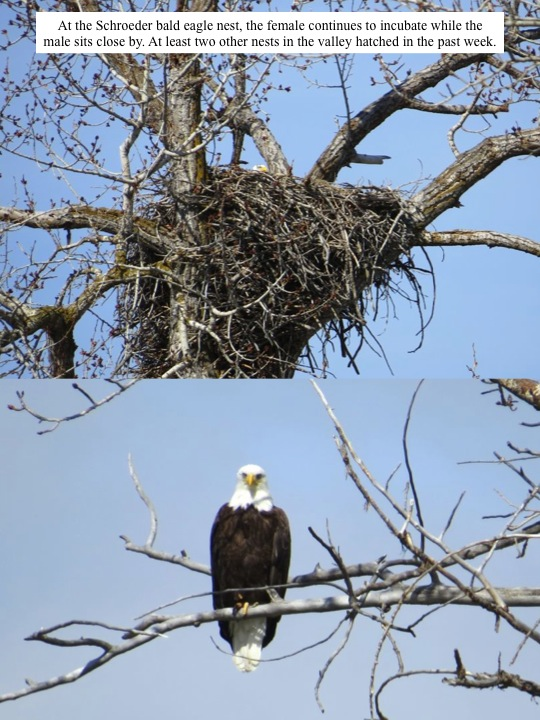 At the Schroeder bald eagle nest, the female continues to incubate while the male sits close by. At least two other nests in the valley hatched in the past week.