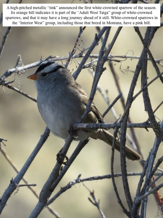 "A high-pitched metallic ""tink"" announced the first white-crowned sparrow of the season. Its orange bill indicates it is part of the ""Adult West Taiga"" group of white-crowned sparrows, and that it may have a long journey ahead of it still. White-crowned sparrows in the ""Interior West"" group, including those that breed in Montana, have a pink bill."
