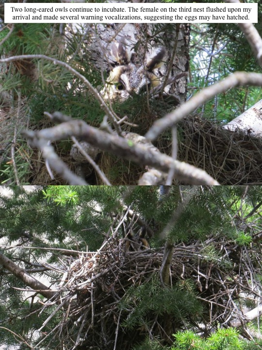 Two long-eared owls continue to incubate. The female on the third nest flushed upon my arrival and made several warning vocalizations, suggesting the eggs may have hatched.