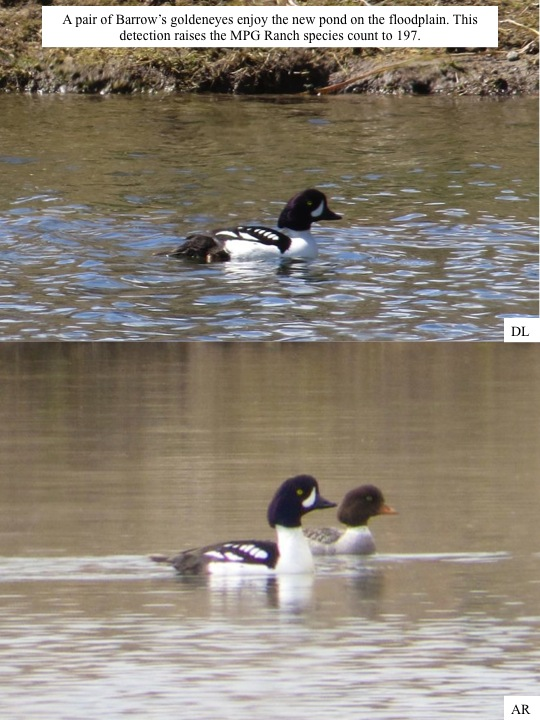 A pair of Barrow's goldeneyes enjoy the new pond on the floodplain. This detection raises the MPG Ranch species count to 197.