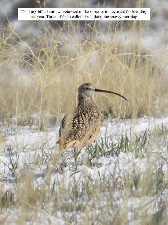 hill. The long-billed curlews returned to the same area they used for breeding last year. Three of them called throughout the snowy morning.