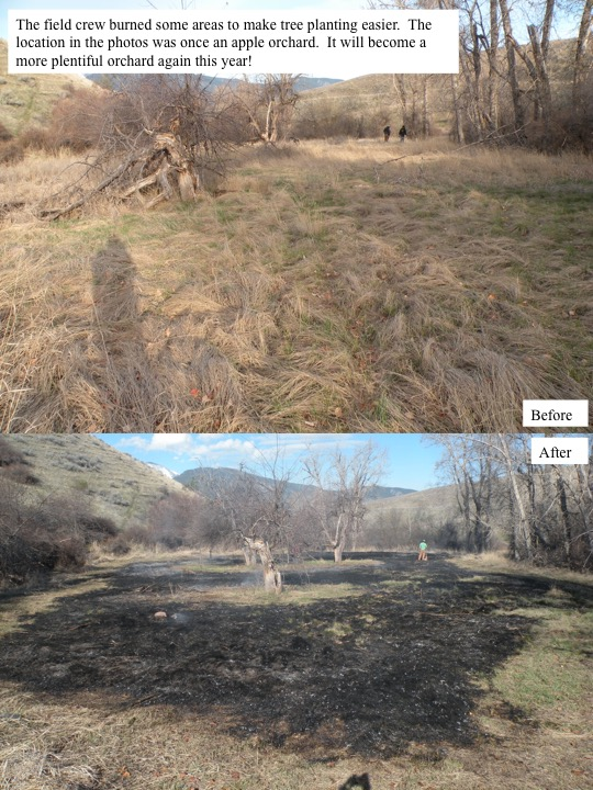 The field crew burned some areas to make tree planting easier. The location in the photos was once an apple orchard. It will become a more plentiful orchard again this year!