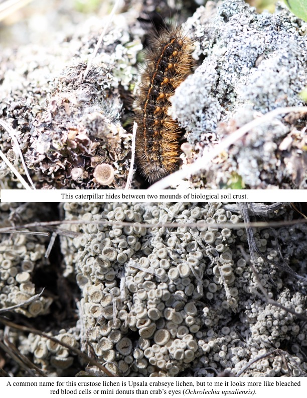 This caterpillar hides between two mounds of biological soil crust.