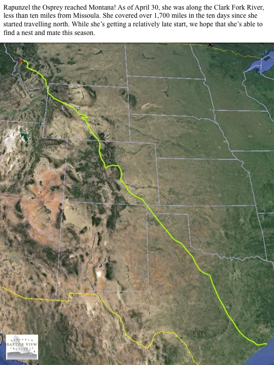 Rapunzel the Osprey reached Montana! As of April 30, she was along the Clark Fork River, less than ten miles from Missoula. She covered over 1,700 miles in the ten days since she started travelling north. While she's getting a relatively late start, we hope that she's able to find a nest and mate this season.