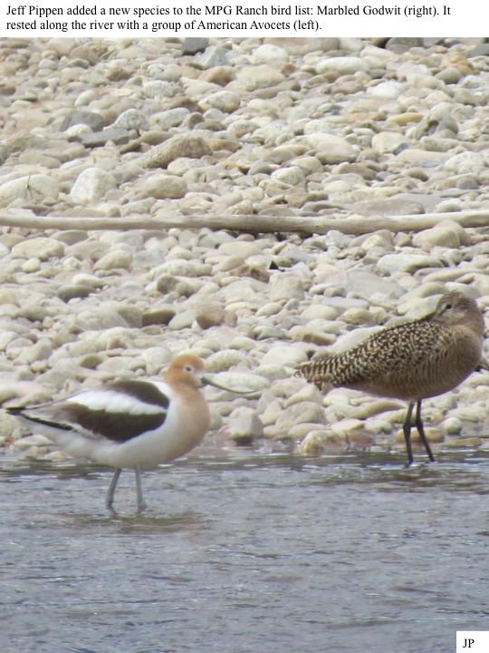 Jeff Pippen added a new species to the MPG Ranch bird list: Marbled Godwit (right). It rested along the river with a group of American Avocets (left).