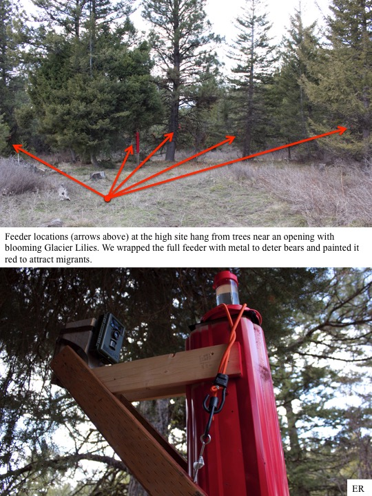 Feeder locations (arrows above) at the high site hang from trees near an opening with blooming Glacier Lilies. We wrapped the full feeder with metal to deter bears and painted it red to attract migrants.