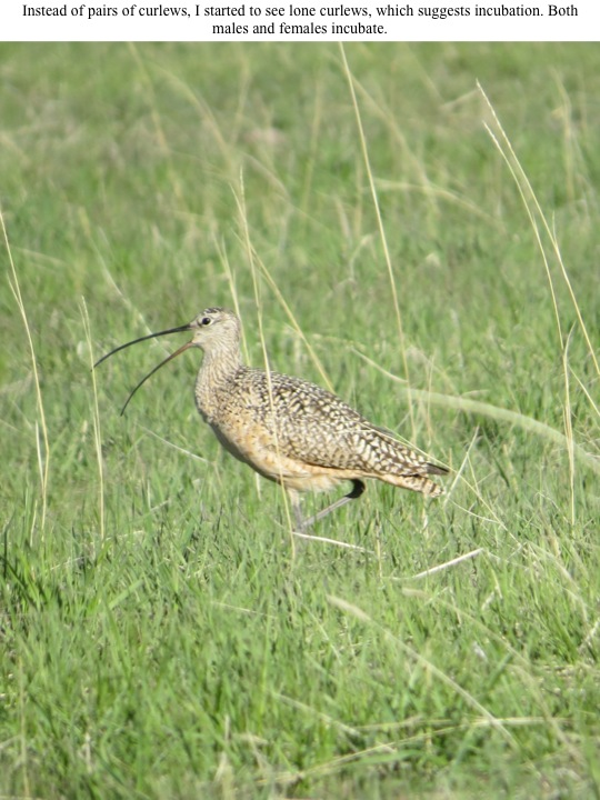 Instead of pairs of curlews, I started to see lone curlews, which suggests incubation. Both males and females incubate.