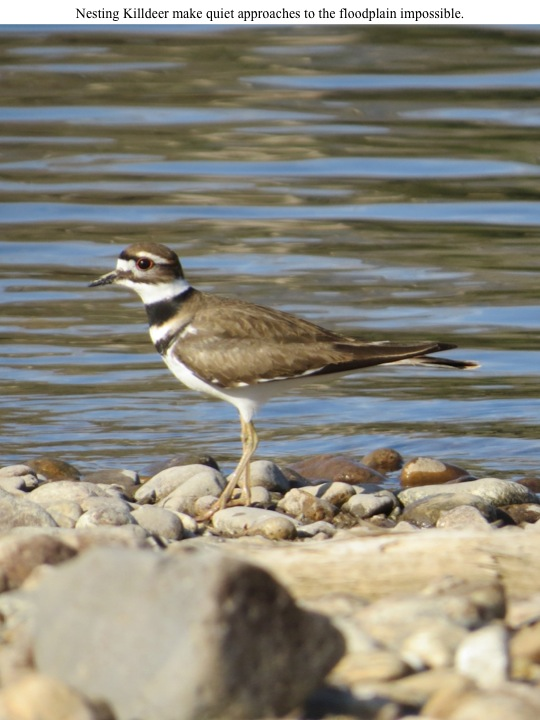Nesting Killdeer make quiet approaches to the floodplain impossible.