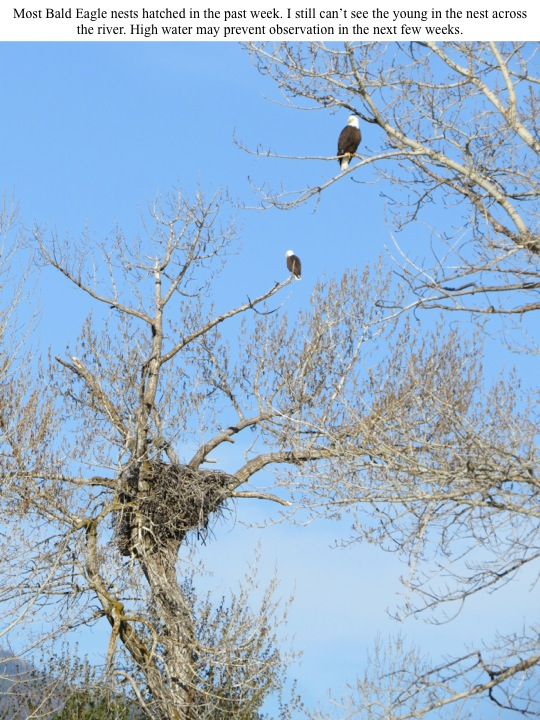 Most Bald Eagle nests hatched in the past week. I still can't see the young in the nest across the river. High water may prevent observation in the next few weeks.