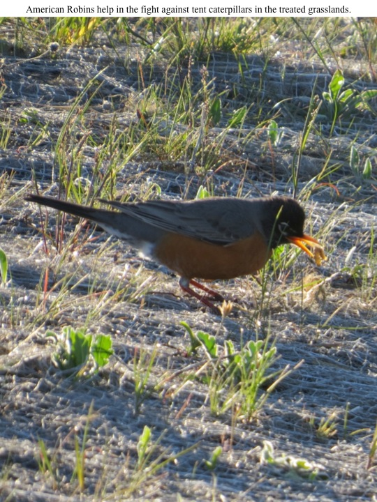 American Robins help in the fight against tent caterpillars in the treated grasslands.