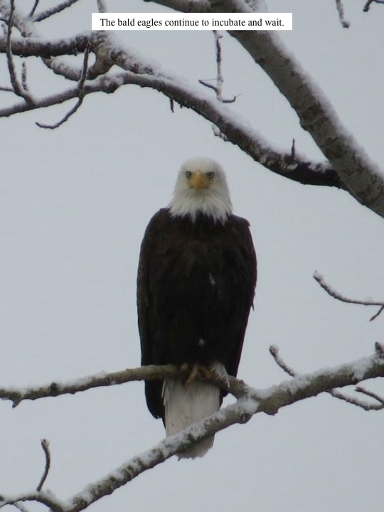 The bald eagles continue to incubate and wait.