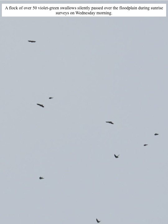 A flock of over 50 violet-green swallows silently passed over the floodplain during sunrise surveys on Wednesday morning.