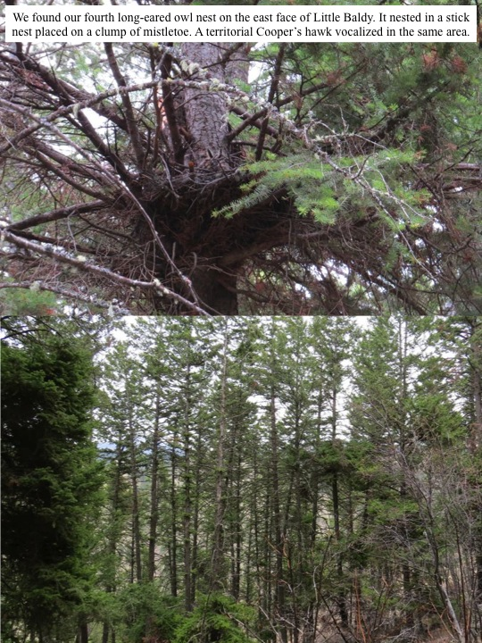 We found our fourth long-eared owl nest on the east face of Little Baldy. It nested in a stick nest placed on a clump of mistletoe. A territorial Cooper's hawk vocalized in the same area.
