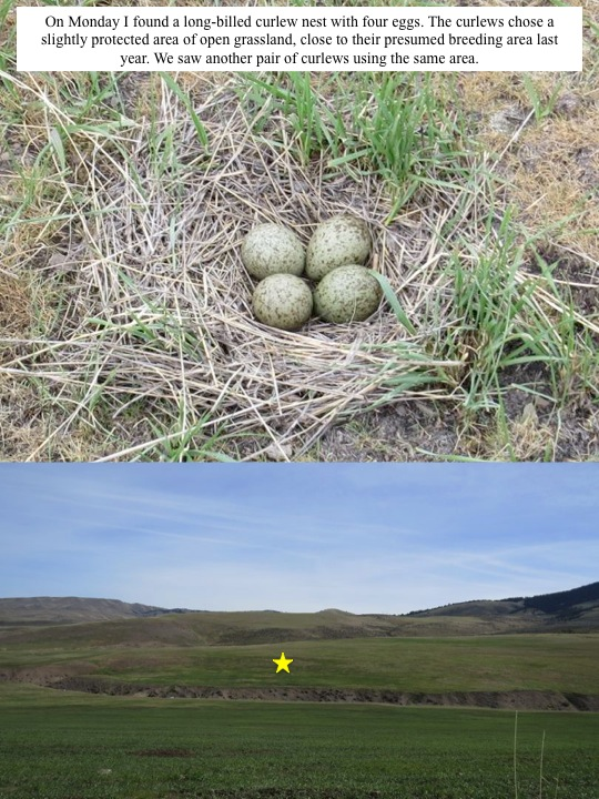 On Monday I found a long-billed curlew nest with four eggs. The curlews chose a slightly protected area of open grassland, close to their presumed breeding area last year. We saw another pair of curlews using the same area.